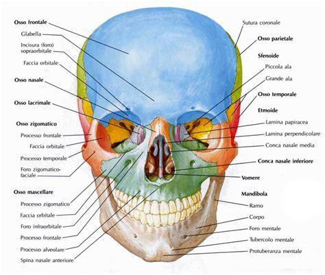 testa anatomia testa medicinapertutti it