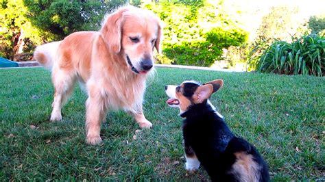 golden retriever and corgi corgi puppy vs golden retriever after college ep 333