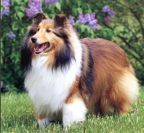 sheltie dogs saved by dogs kinds of collies big or something for most everyone