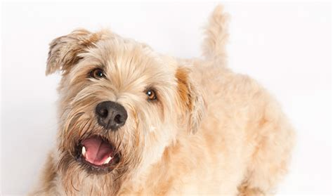soft coated wheaten terrier dog breed information soft coated wheaten terrier haircut hairstylegalleries com