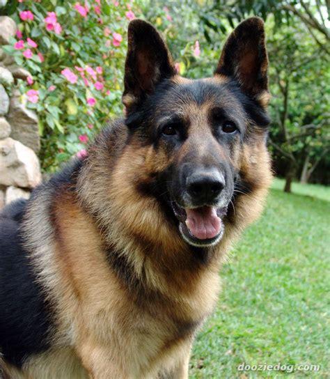 german breeds german shepherd 13 jpg