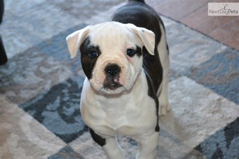 american bulldog puppy for sale pin american bulldog puppies for sale from breeders on