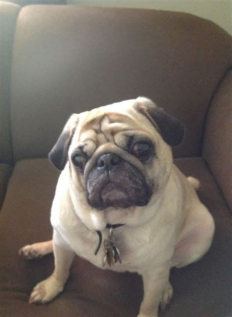 why is my pug so itchy ollie vrn veterinarian recommended nutriceuticals