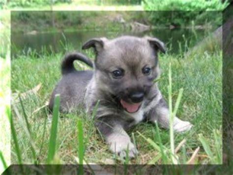 vallhund puppies solborg swedish vallhunds svca inc
