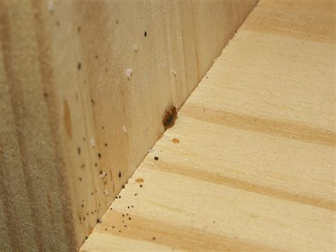 bed bugs in wood bed bug nymphs eggs feces on wood cd shelf with some
