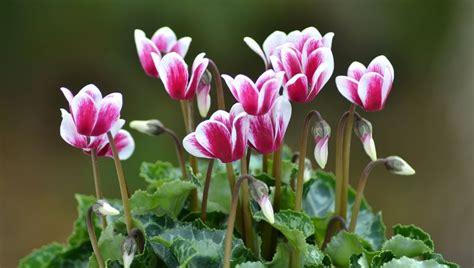 coltivazione ciclamino in vaso ciclamino come curare e coltivare i ciclamini in vaso e