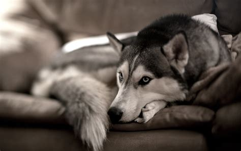black and white dog wallpaper dog black and white wallpaper high definition high