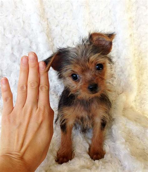 teacup yorkie los angeles iheartteacups teacup yorkie puppy for sale los angeles california quot lala pics