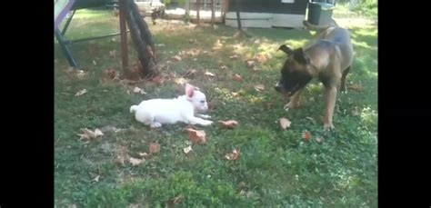 puppy compilation puppy quot attacking quot bigger dogs compilation ilovedogsandpuppies