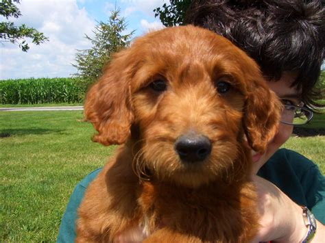 irish setter golden doodle goldendoodle puppies and irish doodles info image gallery