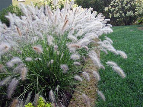 pennisetum alopecuroides hameln the happy gardeners