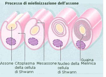 mielina e alimentazione proteine basica della mielina