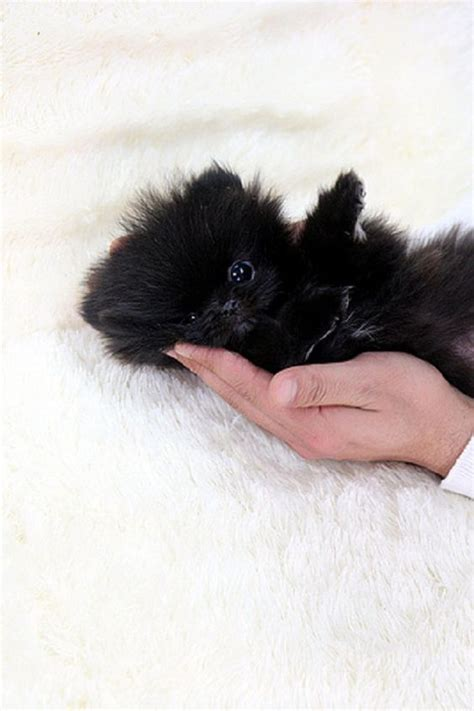 black teacup pomeranian puppies black teacup pomeranian puppy zoe fans baby animals baby