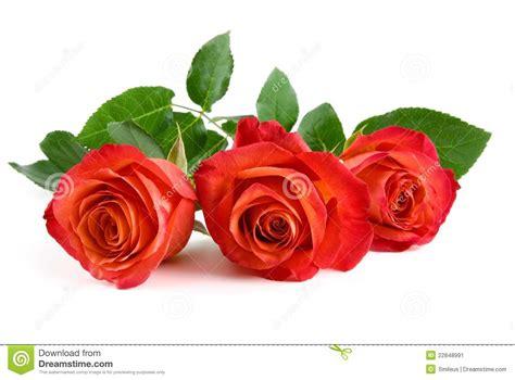 imagenes tres rosas tres rosas rojas hermosas en blanco imagen de archivo