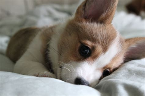 baby corgi puppies baby corgi wallpaper