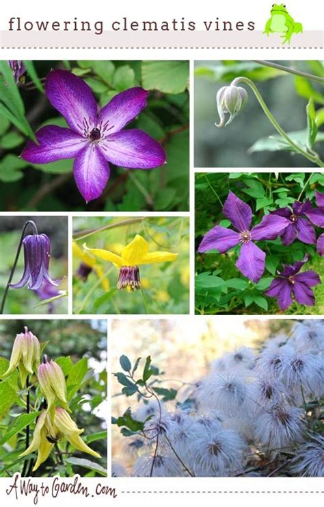 slideshow name that flowering clematis vine a way to
