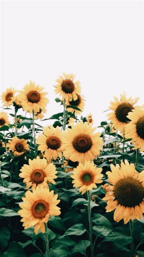 pin  emma novak  flowers trendy flowers sunflower