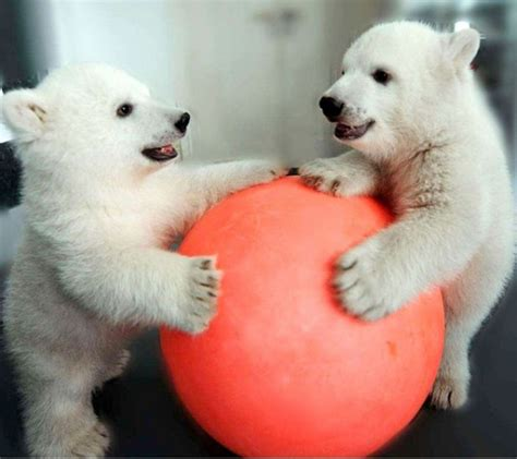 two polar bears in a bathtub 15 animals that just want to make you smile