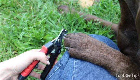 how to cut a dogs nails how to cut s nails 101 a step by step guide