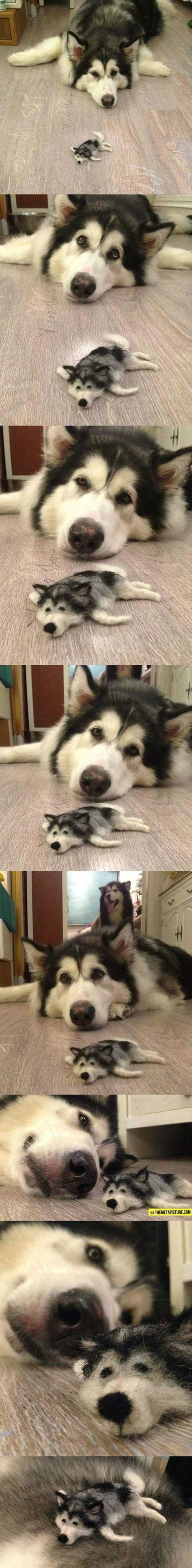 puppy not much no that s not a husky puppy not a husky either think much much