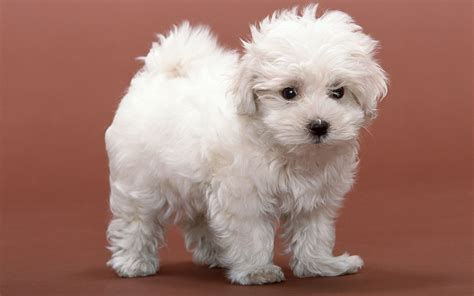 white puppy white fluffy puppy wallpapers and images wallpapers pictures photos