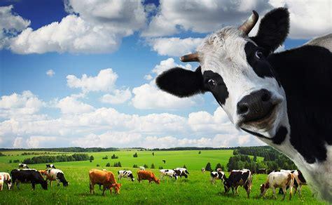 Tempat Pakan Ternak Sapi panduan cara budidaya ternak sapi perah terlengkap