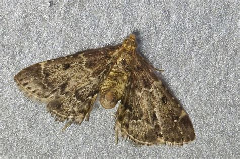 kitchen moths trendy indianmeal moth photo credit