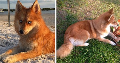 cross between a pomeranian and a husky meet fox a pomeranian husky mix who is taking the by 12 pics