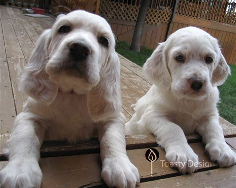 english setter apartment dog english setter puppies i miss when ollie was this little