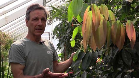 growing cinnamon cinnamomum zeylanicum youtube