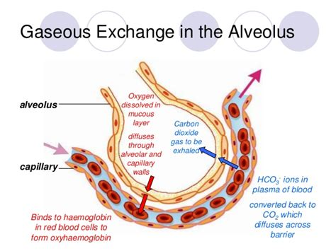 gas exchange across respiratory surfaces boundless biology image gallery lungs and gas exchange