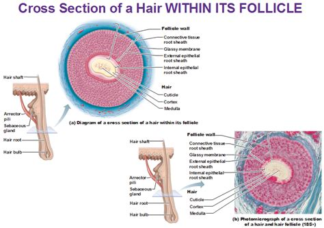 cross section of hair follicle integumentary system part 2