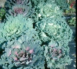 ornamental cabbage annual or perennial suggested plants for butterfly gardens department of