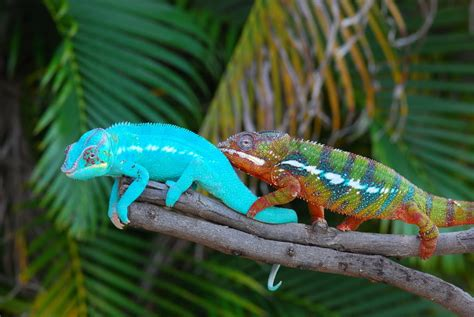 do all chameleons change color chameleon changing color