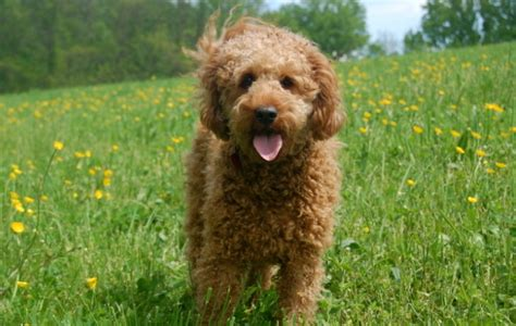curly coat goldendoodle labradoodle everything doodle