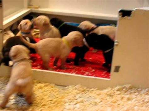3 week lab puppies 3 week labrador retriever puppies labrador retriever wire