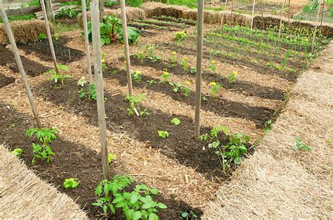 garden rows with straw harvest to table