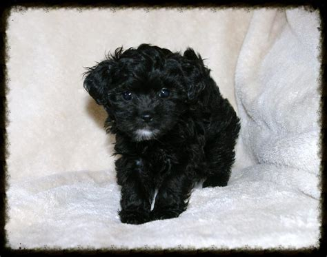 shih poo puppies shih poo tlc puppy