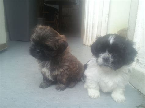 shih tzu x lhasa apso for sale 2 x lhasa apso x shih tzu bradford west pets4homes