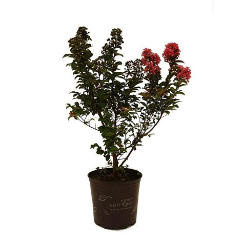 editions coral magic crape myrtle crmcma01g the