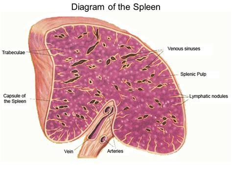 histological section spleen histology cross section or longitudinal section