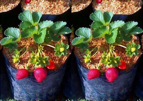 Jual Bibit Strawberry Putih pusat distributor grosir eceran jual bibit tanaman buah
