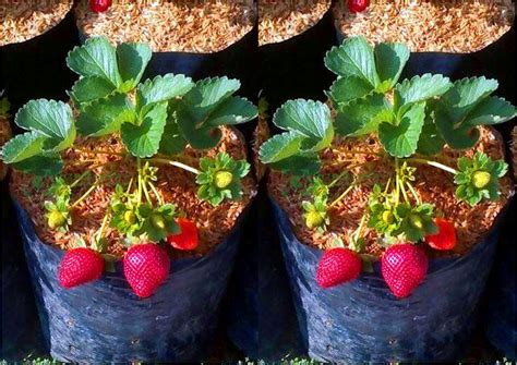Jual Bibit Buah Strawberry pusat distributor grosir eceran jual bibit tanaman buah