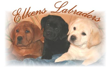 labrador puppies for sale in california labrador puppies akc labrador breeder we believe if you are going to