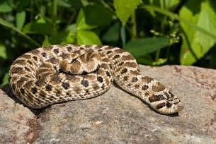western hognose snake heterodon nasicus aka mexican hognose snake or kennerly s hognose snake