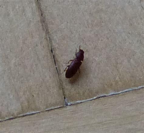 kleine schwarze käfer in wohnung k 252 che kleine braune fliegen k 252 che kleine braune fliegen