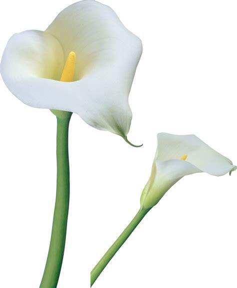 clipart fiore calla cliparts
