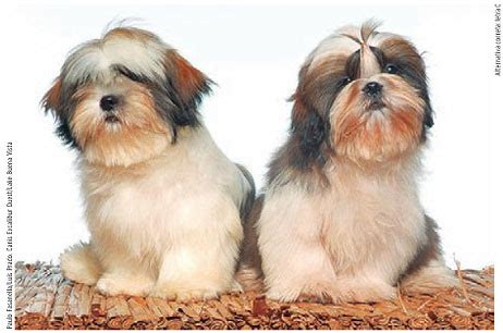 lhasa apso vs shih tzu shih tzu x lhasa apso puppies pretoria moot dogs and puppies breeds picture