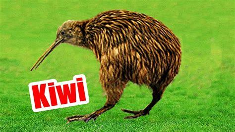 imagenes de animal kiwi kiwi ave rara da nova zel 226 ndia youtube