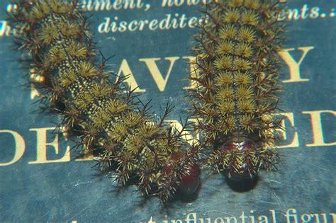 Caterpillar Evanue louisiana caterpillars search in pictures